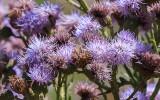 Thistle flowers in Badlands National Park