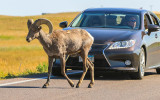 A Bighorn Sheep stops traffic in Badlands National Park