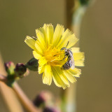 A bee collects pollen in Badlands National Park