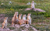 Prairie Dogs gather together on a den in Badlands National Park