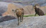 Bighorn Sheep climb over a ridge in Badlands National Park