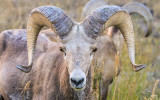 Mature Bighorn Sheep in Badlands National Park