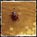 Coccinel