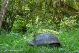 Galapagos Giant Tortois
