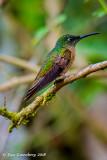 Female Fawn-breasted Brilliant Hummingbird