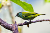 Black-capped Tanager (Female)