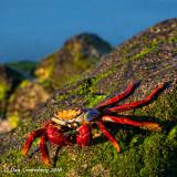 Sally Lightfoot Crab on Algae Covered Lava