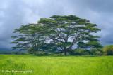 Albizia Trees