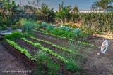 Local Vegetable Garden