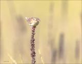 Grasshopper Sparrow Lincoln County WA