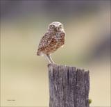 Burrowing Owl Lincoln Co. WA