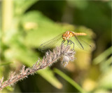 Whitefaced Meadowhawk Lincoln Co. WA