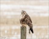 Rough Legged Hawk Perched Lincoln County