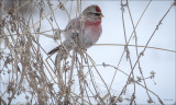 Common Redpoll,  Lincoln County