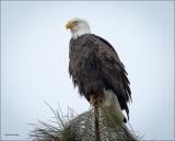 Bald Eagle Tree Top Perch Coeur D' Alene, ID