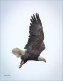 Bald Eagle N Flight Coeur D Alene ID