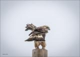 Rough Legged Hawk Look Back, Lincoln County