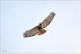 Red Tail n Flight Lincoln County