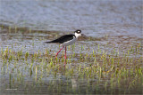 Blackneck Stilt, Lincoln County WA