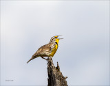 Meadow Lark Singing, Lincoln County WA