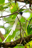 Asian Paradise Flycatcher ( Terpsiphone paradisi )