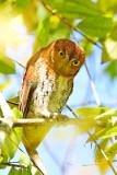 Oriental Scops Owl (Otus sunia)