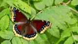 European Butterflies / Europese Dagvlinders