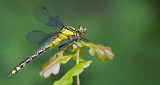Club-tailed Dragonfly / Beekrombout