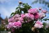 my_rose_garden