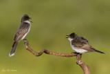 tyran_tritri_-_eastern_kingbird