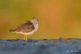 oiseaux_de_rivage__shore_birds