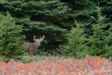 loups__cerfs__wolves___deer