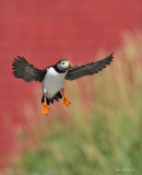 macareux_moines__atlantic_puffins