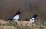Eurasian Magpie, male and female