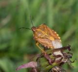 Skinnbaggar, (Heteroptera)