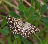 Rutig buskmätare, (Chiasmia clathrata)