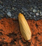 Guldgul lavspinnare, (Eliema cororcula)