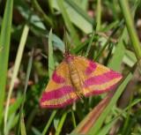 Mindre purpurmätare, (Lythria cruentaria), female