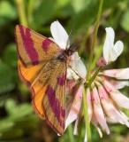 Mindre purpurmätare, (Lythria cruentaria), male