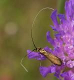 Åkerväddantennmal, (Nemophora metallica)