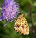 Älggräspärlemorfjäril, (Brenthis ino)