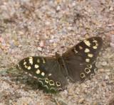 Kvickgräsfjäril, (Pararge aegeria)