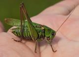 Hopprätvingar, (Orthoptera)