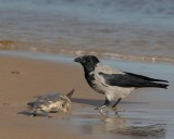Hooded Crow, eating on a dead salmon trout