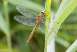 Dragonflies and Damselflies.