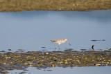 Godwit, Waipu River Estuary