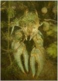 Oronectes virilis (virile crayfish).