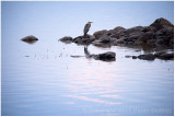 Sunset heron.