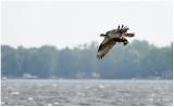 Fishing osprey.