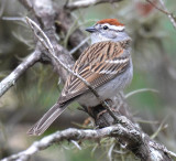Chipping Sparrow, Alternate Plumage